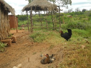 The Water Project : kenya4301-18-second-members-chickens-and-chicken-house