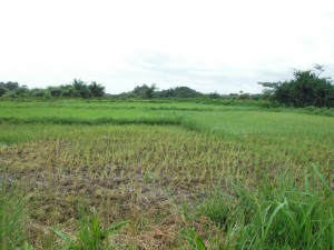 The Water Project : sierra-leone5072-12-rice-growing-in-the-swamp-farmland