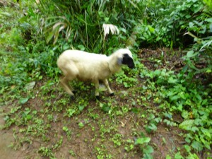 The Water Project : sierra-leone5074-31-always-a-goat-in-a-village