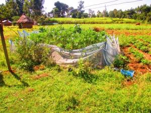 The Water Project : 8-kenya4585-garden