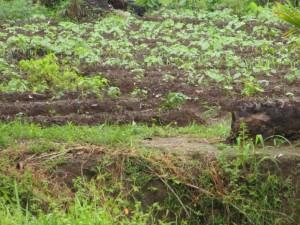 The Water Project : 4-sierraleone5090-cassava-farm