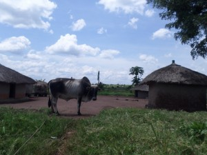 The Water Project : 14-uganda6067-cow