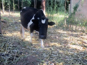 The Water Project : 11-kenya4641-dairy-cow