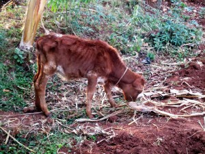 The Water Project : 14-kenya4703-cow