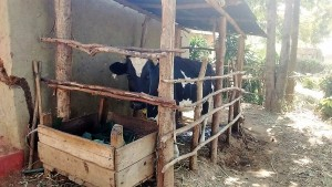 The Water Project : 8-kenya4705-dairy-cow