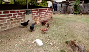 The Water Project : 10-kenya4726-hens-pecking