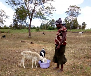 The Water Project : 5-kenya4726-watering-her-sheep