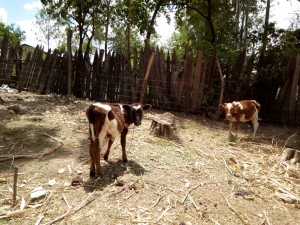 The Water Project : 9-kenya4726-cattle-grazing